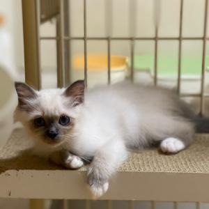 今朝の子猫 in 子猫部屋 目の中に入れても痛くない程 かわいい