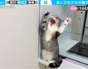 """あくびと同時に""""バンザイ""""する猫に驚き クセの強さと可愛さに「反則です…♡」の声も!"""