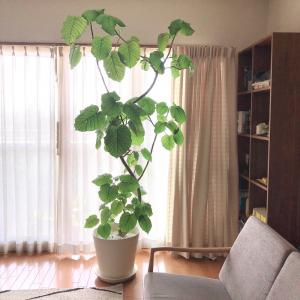 リビングに置きたい観葉植物〜ウンベラータ〜我が家のシンボルツリー成長の記録