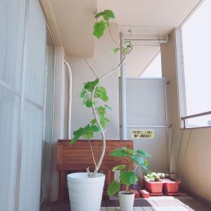 我が家のシンボルツリー〜ウンベラータ剪定と挿し木〜