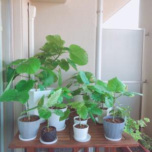 観葉植物のコバエ対策&ウンベラータ成長の記録