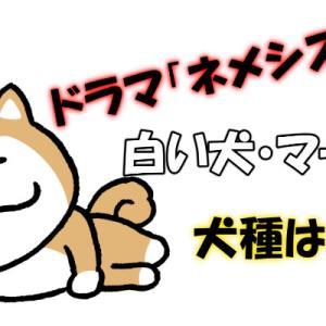【ネメシス】白い犬(マーロウ)の犬種は何?秋田犬なのか徹底チェック!