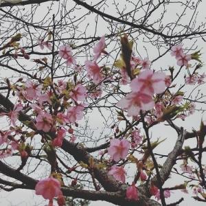 ひと足早く…桜