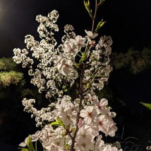 夜桜散歩。