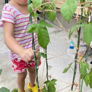 娘、初めて朝顔の種を採取