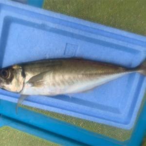 【釣行記】2020年の釣行を振り返る⑫2020.12.10 午後アミ五目(金沢八景・一之瀬丸)