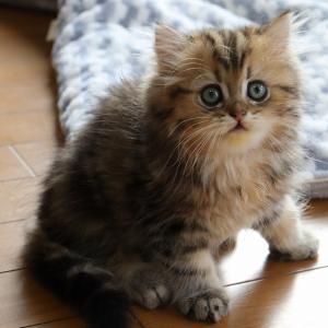 2021/7/3生まれチンチラゴールデンの子猫 毛色の綺麗な子です。夏の特別価格、里親様募集中