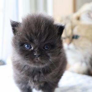 2021/8/28生まれのブラックペルシャの子猫です。可愛い。里親様、大募集中です。