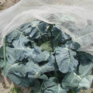 ブロッコリー実が出来ている。以前なら収穫していた大きさ