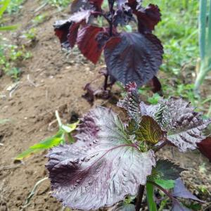 畑日誌、今年も種芋を買わずに肥料もあげずにジャガイモを収穫