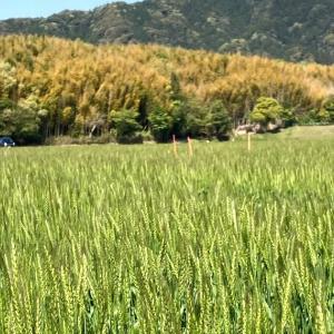 自然農の畑・ルッコラ、ホウレンソウ、ダイコン、インゲンの発芽(^^)