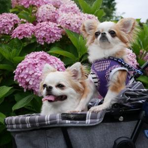 ピンクの紫陽花とアナベル (^^)v
