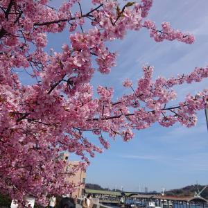 尾道の満開の河津桜をチャリで行って写真撮ってきたよー♪