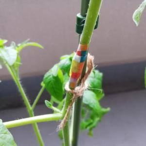 ミニトマトの茎が折れてしまった!マスキングテープと麻紐で補強…