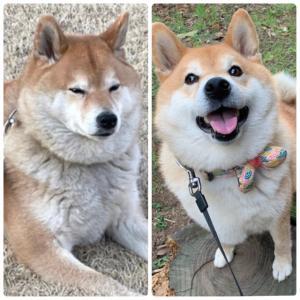 特別な日だけ身につけられる首輪と、同じ犬に見えない柴犬