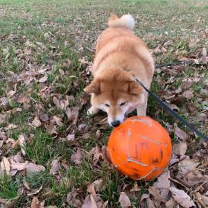 柴犬も歩けばなぜか野良ボールにめっちゃ遭遇する