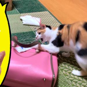 母のバッグから泥棒猫するのがマイブームの三毛猫&ニマニマが隠せない柴犬