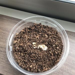 オオクワガタ孵化直後の初令幼虫