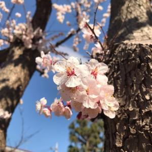 梅の花のピンクに癒される