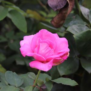 北公園の散策 薔薇のお花を観ながらの散策