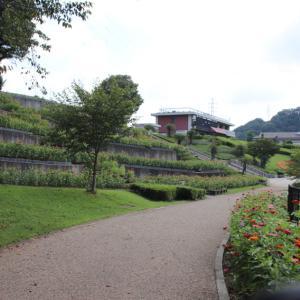津久井湖畔 水の苑地 見ごろになった百日草を見ながら  その1