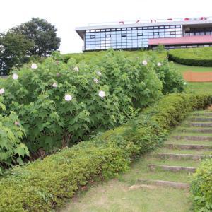 津久井湖畔 水の苑地 見ごろになった百日草を見ながら  その2
