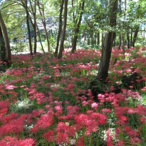 今日はトークの日   今日の彼岸花の咲く風景
