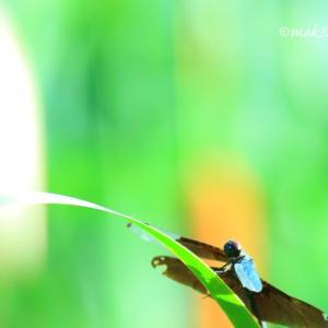 蒲の穂と チョウトンボ