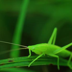 草むらの中で輝く クビキリギリス