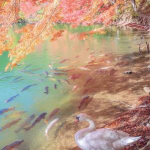 明日香村の彼岸花サンセット絶景撮影