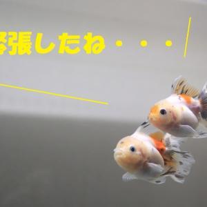 飼い主が居ないので、金魚が進行役をつとめます