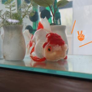 浮けるようになるリハビリを、さぼる金魚「うめ」