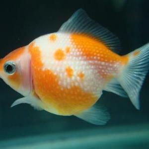 天の川の模様がある金魚 ―きらきら金魚の昔話⑦―