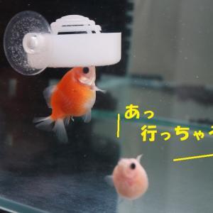 フリーズドライの赤虫を金魚にあげたら・・・