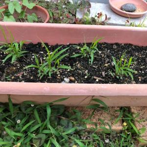 粟の成長記録
