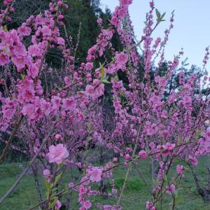 春たけなわ「桃とはっさくと和菓子」についてのおしゃべり