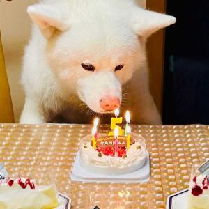 秋田犬TAMの5回目の誕生日!