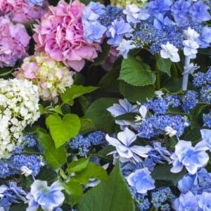 紫陽花は何月に咲く?あじさいの花って本当は「がく」で花じゃない?