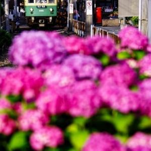 江ノ電305 坂ノ下の紫陽花