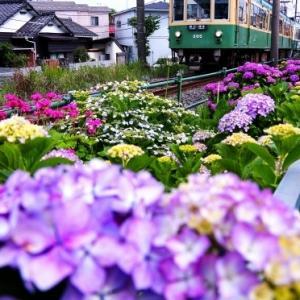 江ノ電305 通学路の紫陽花