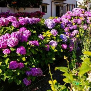 江ノ電 紫陽花もさもさ