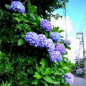 江ノ電 片瀬の紫陽花
