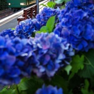 江ノ電由比ヶ浜駅の紫陽花と一番列車