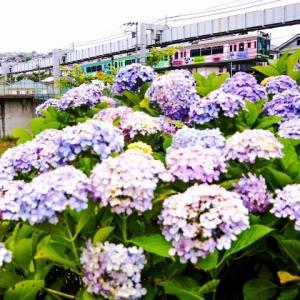 湘南モノレール 猫池の紫陽花