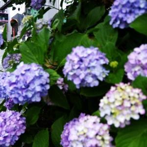 湘南モノレール 目白山下の紫陽花