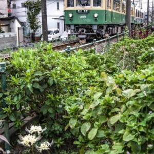 江ノ電305号 石上の彼岸花
