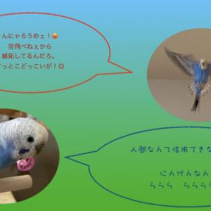 セキセイインコ(生後8ヶ月)飼育記録 飼育約7ヶ月 クリッピング(羽根切り)しました。アオさん、人間不信と自身喪失?