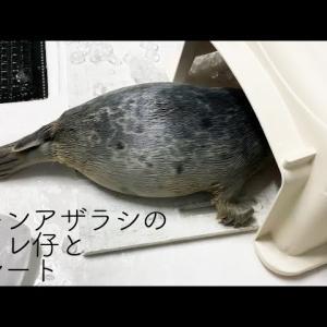 小片リサさんのルーティーン→大阪・海遊館さんの赤ちゃんアザラシ アラレ仔ちゃんの成長を見守ることが日課です。