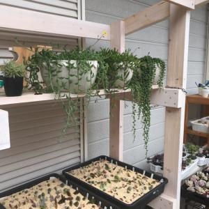 111【多肉植物】梅雨の多肉花壇/七夕風小さな寄せ植え/ホムセン多肉を楽しむ