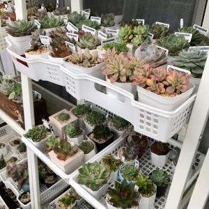 【多肉植物】遮光を外すタイミング・イケアの棚にピッタリなケース・100均